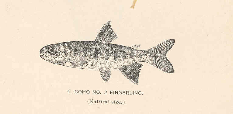 Coho_No2_Fingerling.jpeg