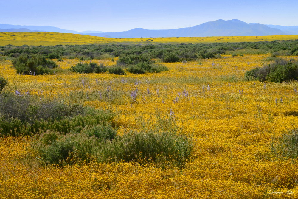 Just east of Soda Lake Looking north. Fields upon fields of Goldfield flowers (Lasthenia sp.) and tall blue stalks of Delphinium.