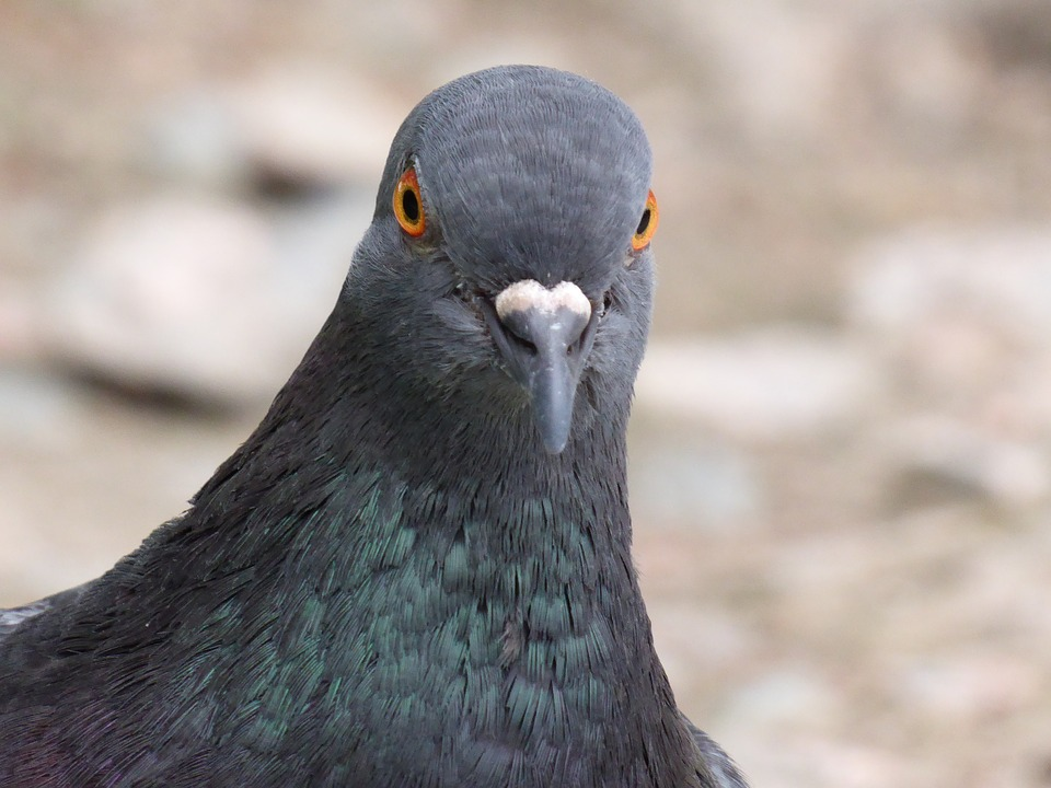 Pigeon! Photo: Pixabay, public domain