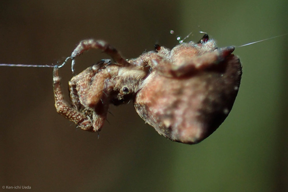 A Hyptiotes spider at Joaquin Miller Park. Photo by Ken-ichi Ueda.