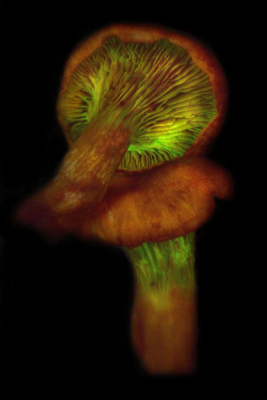 Omphalotus olivascens