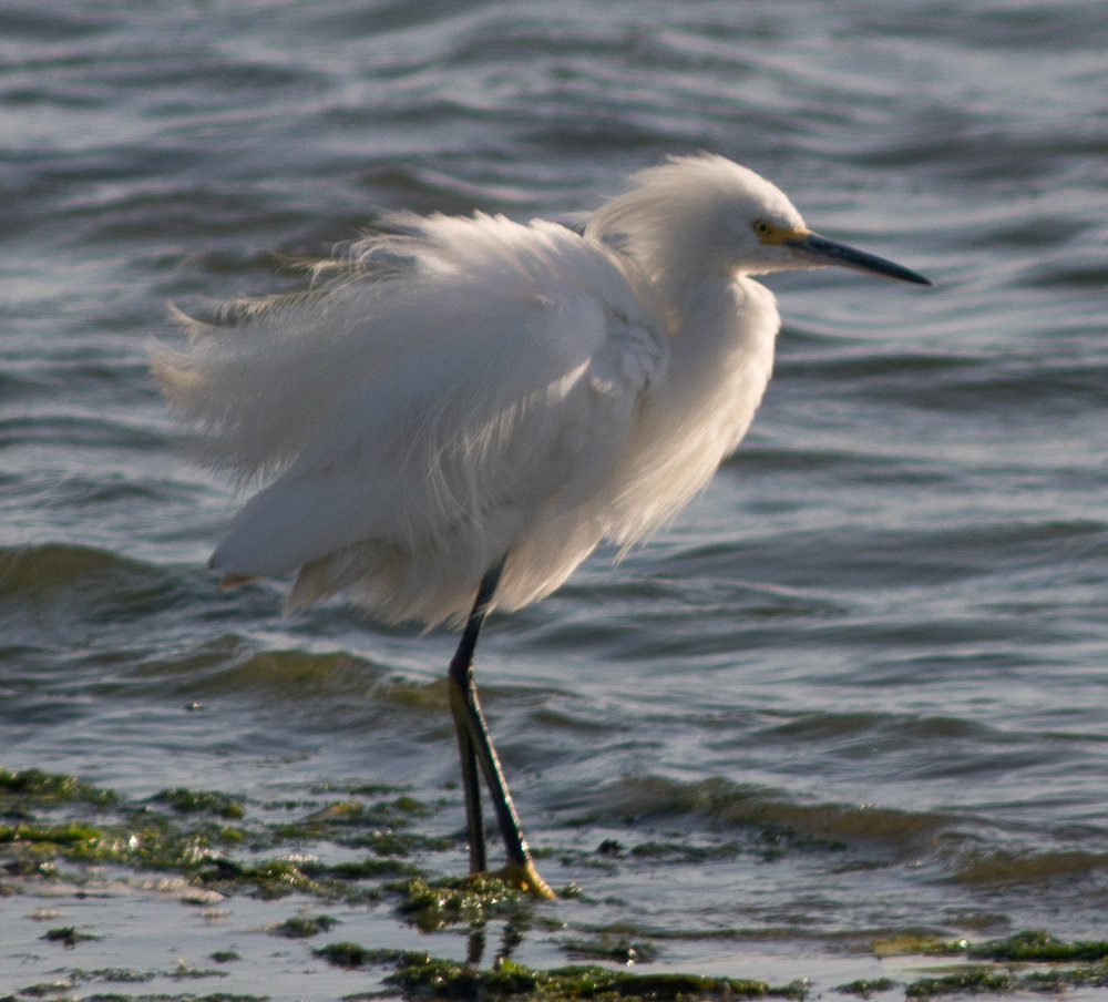 A snowy egret is buffeted by wind. Photo by Tony Iwane.