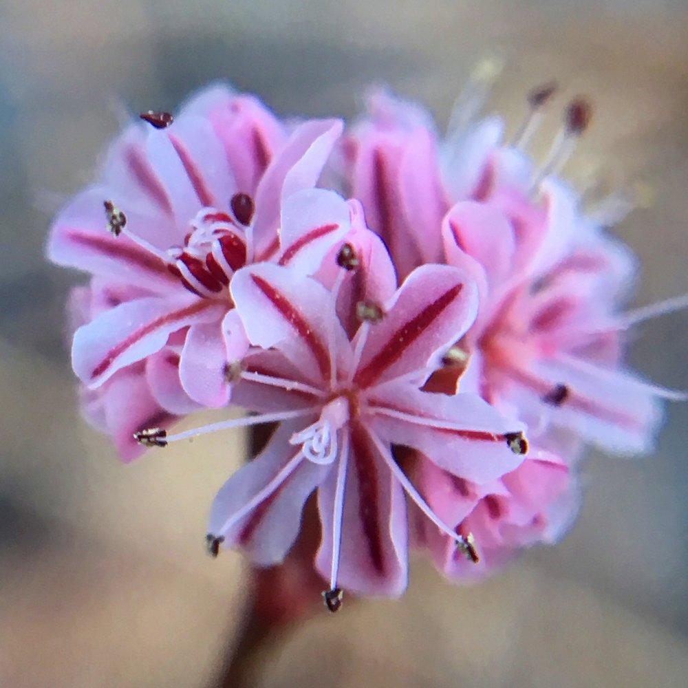 Tiburon buckwheat (Eriogonum luteolum var. caninum)