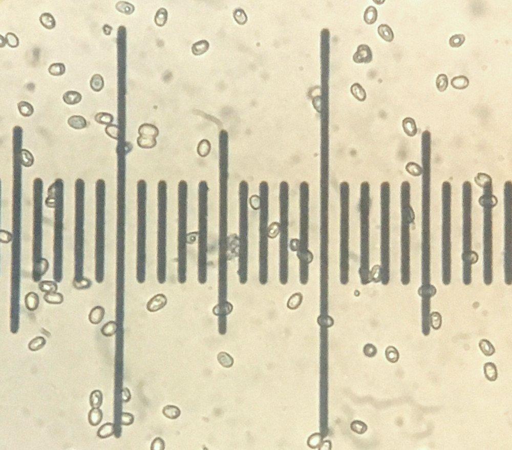 spores from Pluteus primus