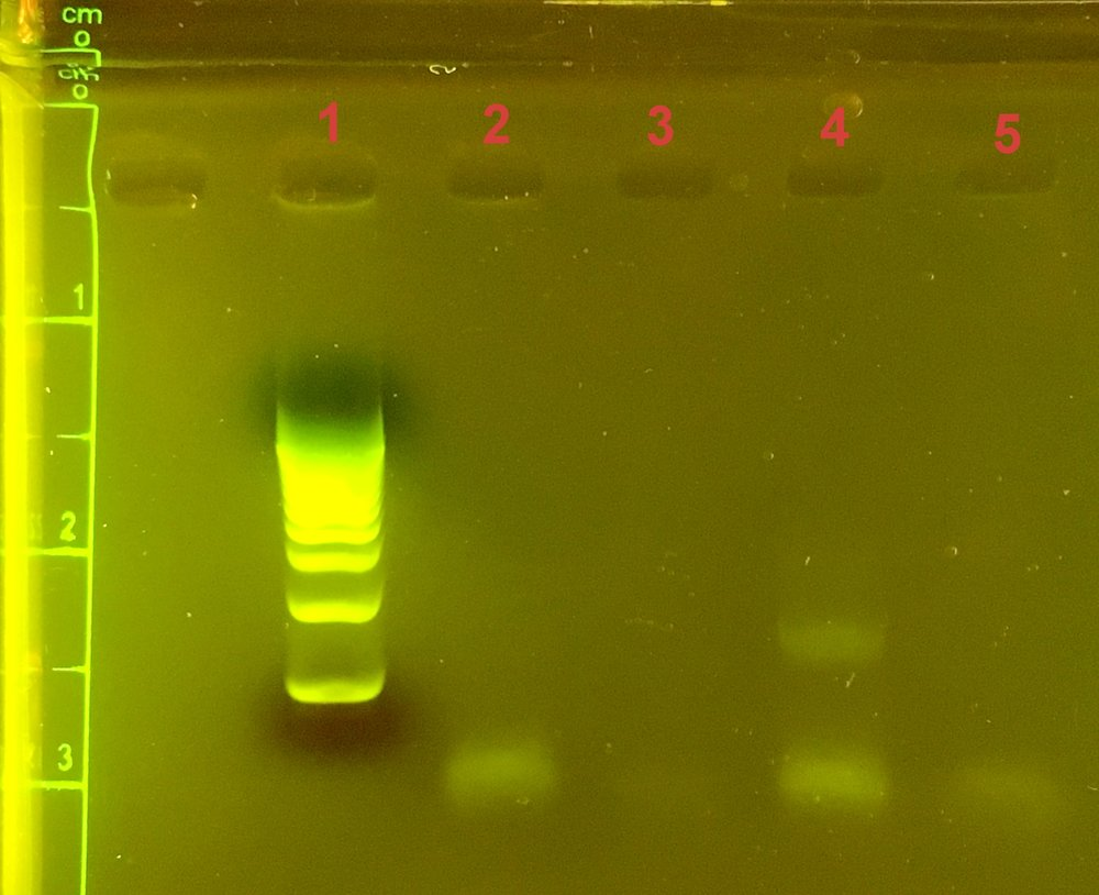 Gel of DNA amplifications. Lane 4 is the Plutues