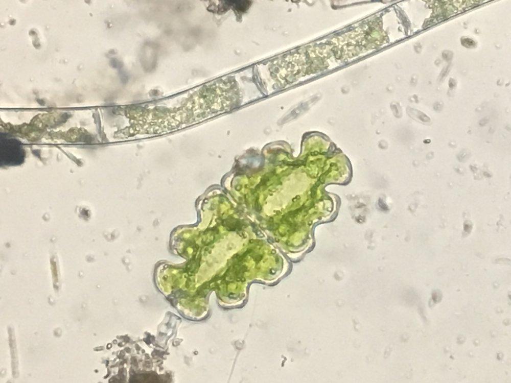 Desmidiaceae