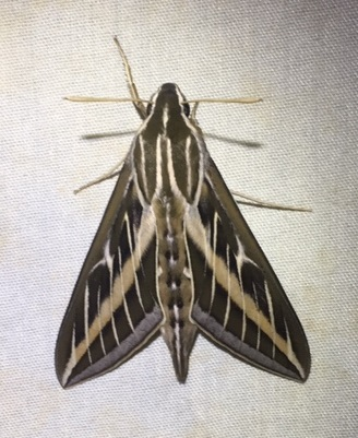 White-lined sphinx moth. Photo by Constance Taylor