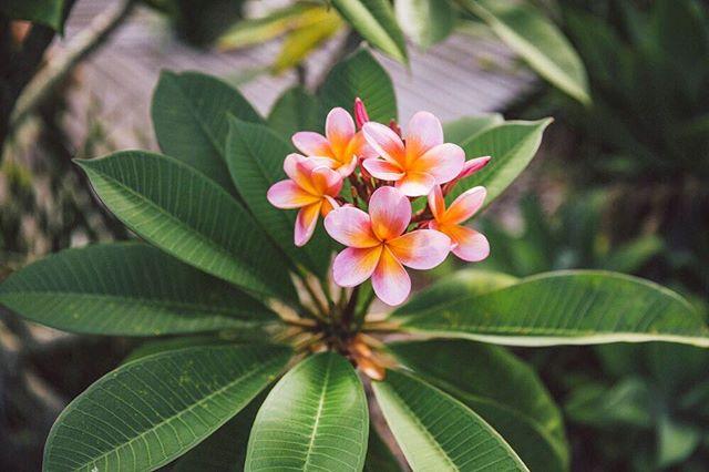 { f r a n j i ~ p e r f e c t i o n 🌸 #franjipani #plumeria #flower #lover  #fineart #destination #wedding & #portrait #photographer #laceandgrain #laceandgrainphotography @laceandgrain
