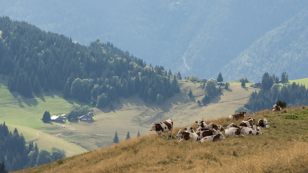 cows-of-the-alps