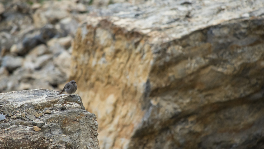 black-redstart-lac-de-lessy-hike