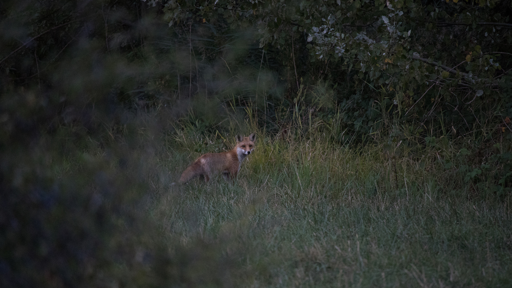fox-marais-de-sionnet