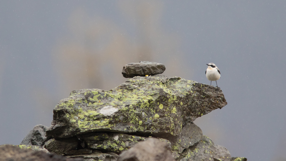 Male Northern Wheatear (Oenanthe oenanthe)