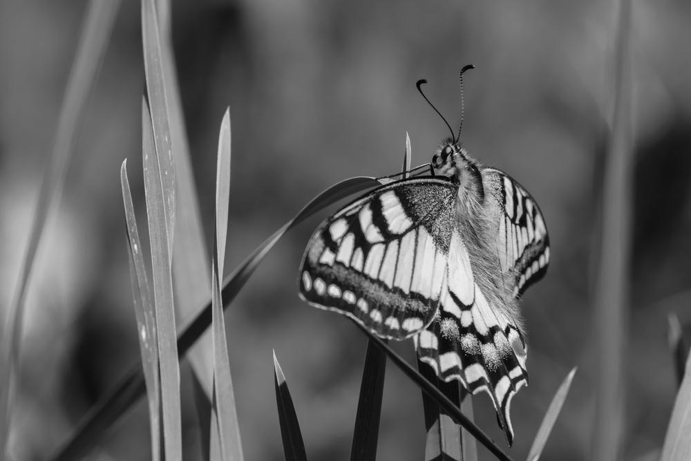 swallowtail-butterfly-b&w-lac-benit