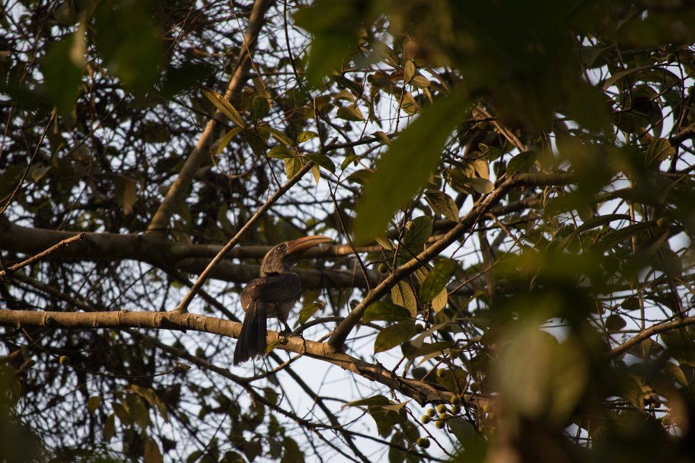 Malabar Grey Hornbill (Ocyceros griseus) at the Thattekad Bird Sanctuary, Kerala, India. February 2015. Not baited. Not called in.