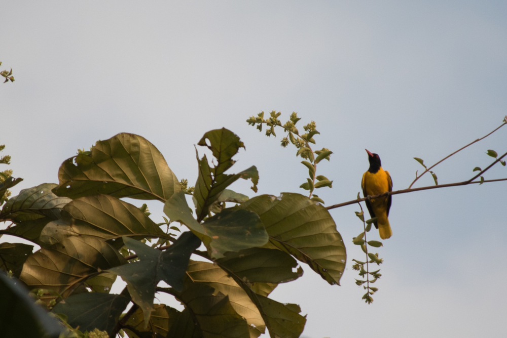Black-hooded Oriole (Oriolus xanthornus) in Thattekad Bird Sanctuary, Kerala, India. February 2015. Not baited. Not called in.