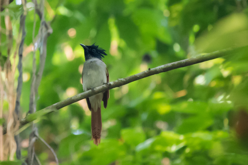 Female Asian Paradise Flycatcher (Terpsiphone paradisi) at Kumarakom Bird Sanctuary, Kerala, India. February 2015. Not baited. Not called in.