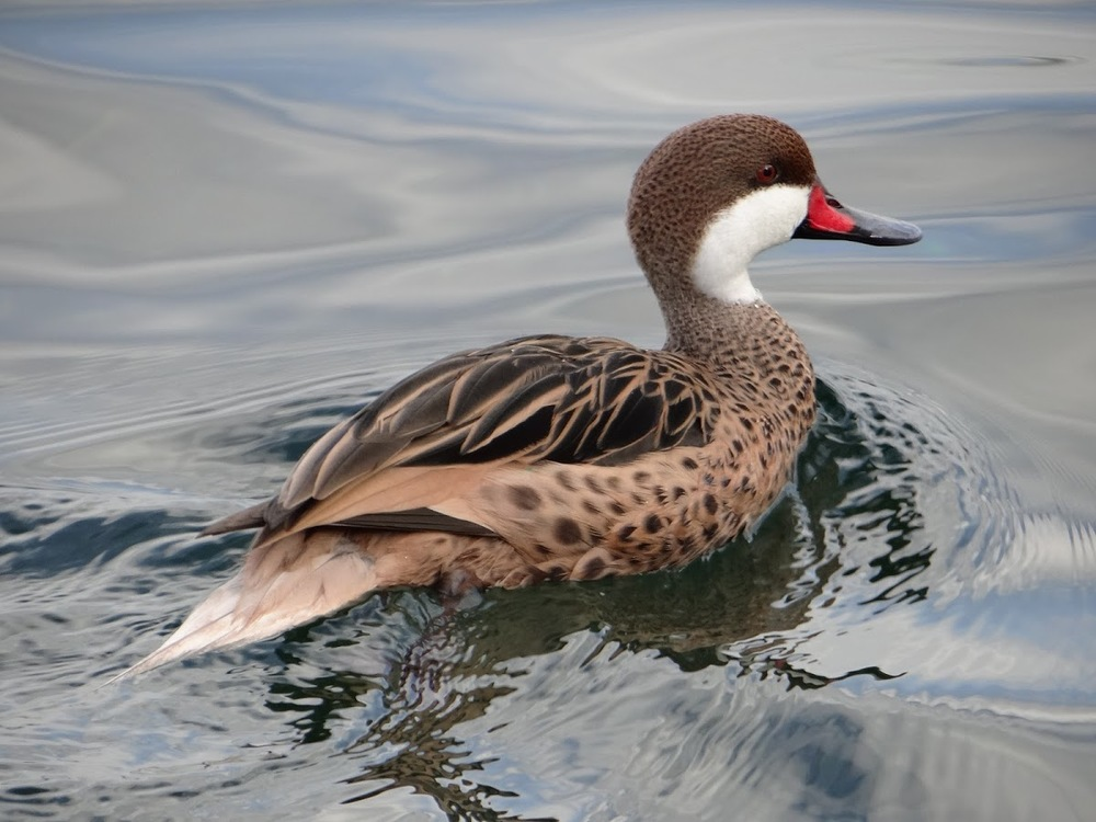 White-cheeked Pintail (Anas bahamensis) in Geneva, Switzerland. October 2014. Not baited. Not called in.