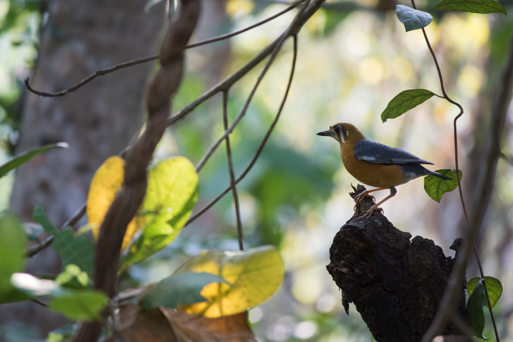 Orange-headed Thrush (Zoothera citrina)at the Thattekad Bird Sanctuary, Kerala, India. February 2015. Not baited. Not called in.