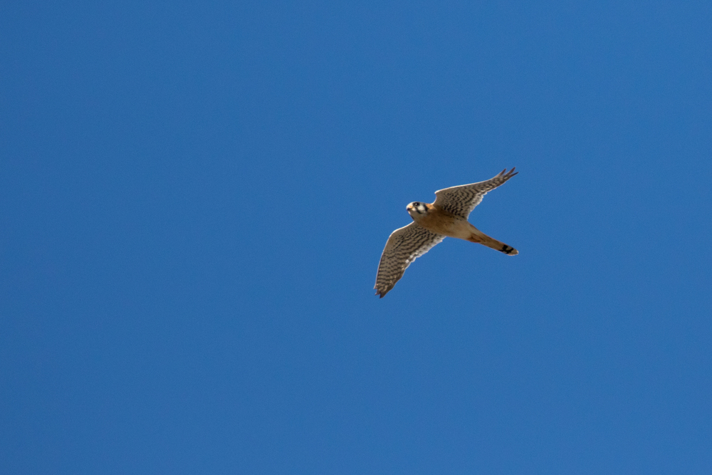 American Kestrel (Falco sparverius) at the Laguna Niguel Regional Park, California. December 2015. Not baited. Not called in.