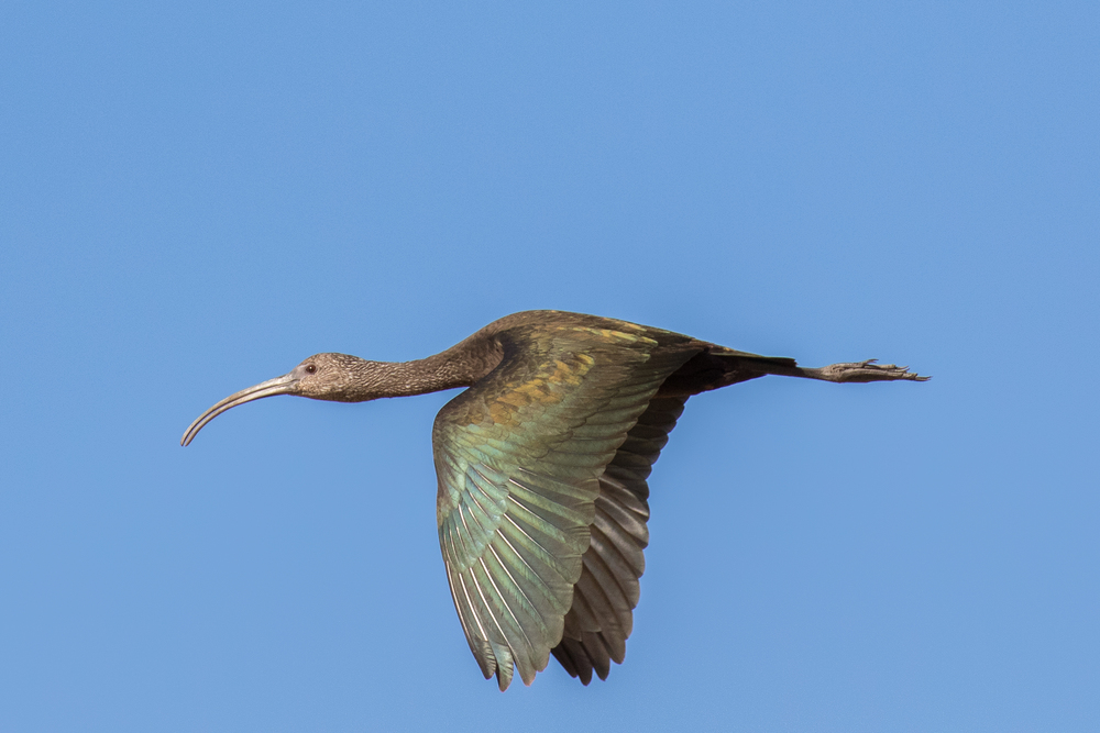 White-faced Ibis (Plegadis chihi) at the Laguna Niguel Regional Park, California. December 2015. Not baited. Not called in.