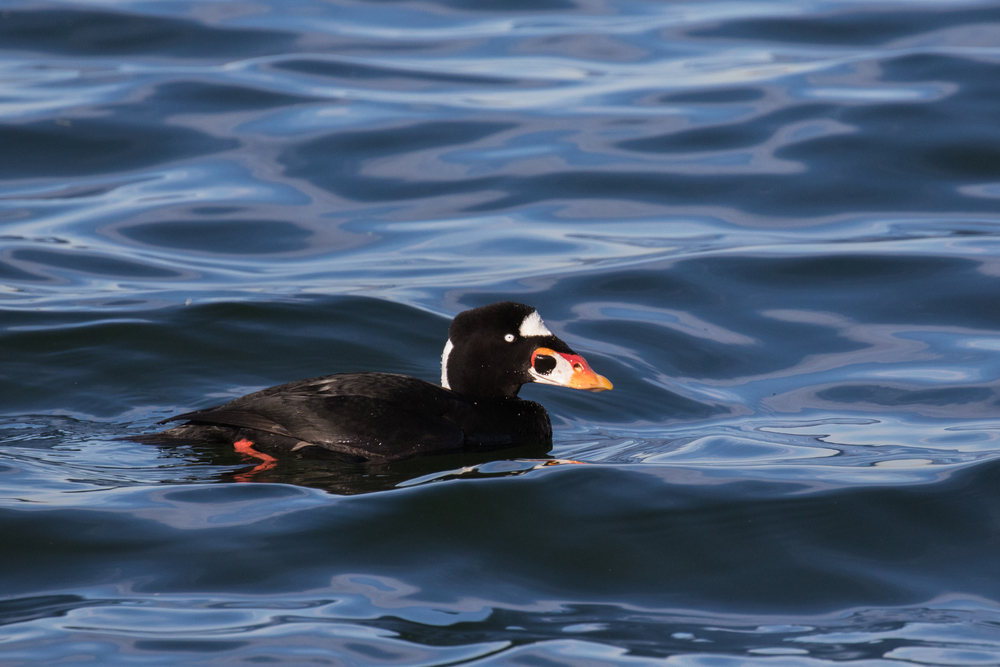 Surf Scoter (Melanitta perspicillata) at Bolsa Chica Ecological Reserve, California. December 2015. Not baited. Not called in.