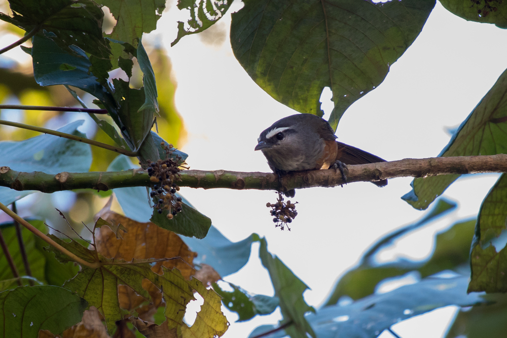 kerala-laughingthrush-munnar-india