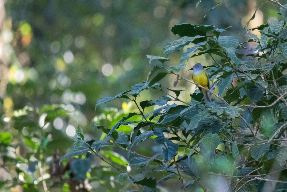 grey-headed-canary-flycatcher-munnar-india