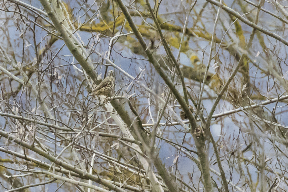 Mistle Thrush (Turdus viscivorus) in Gaillard, France. February 2016. Not baited. Not called in.