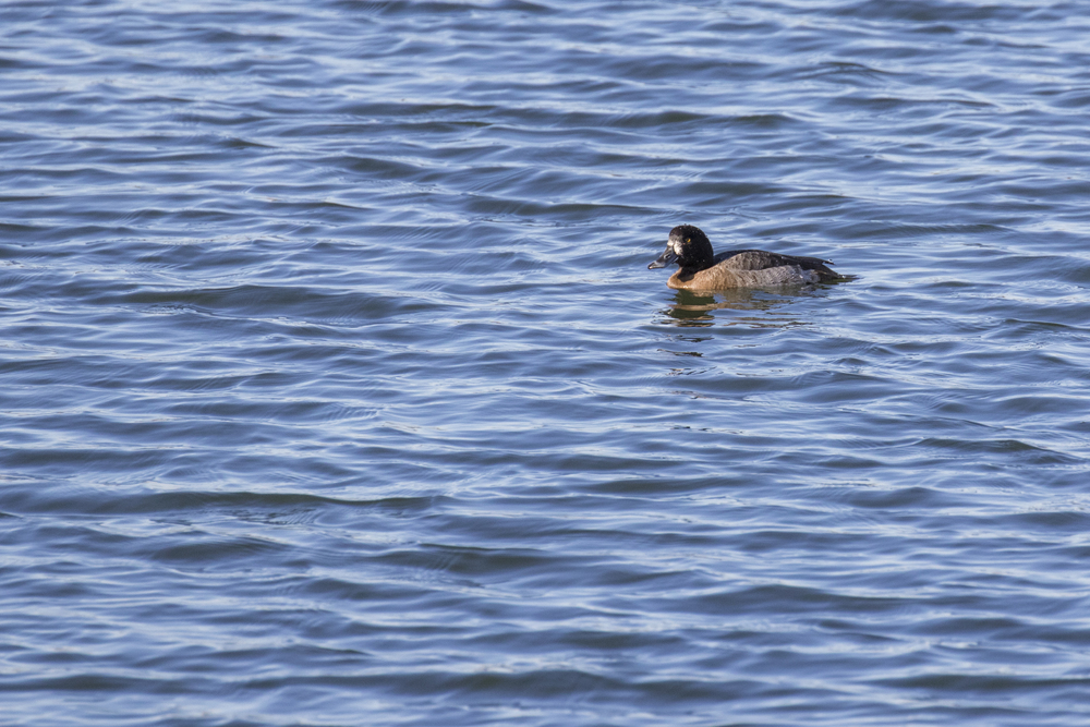 Female Greater Scaup (Aythya marila) at Bolsa Chica Ecological Reserve, California. December 2015. Not baited. Not called in.