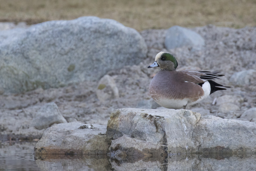 American Wigeon (Anas americana) at Laguna Niguel Regional Park, California. December 2015. Not baited. Not called in.