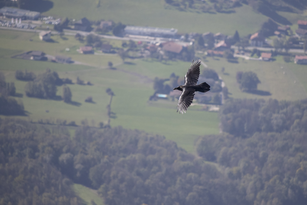 Common Raven (Corvus corax) in Passy, France. October 2015. Not baited. Not called in.