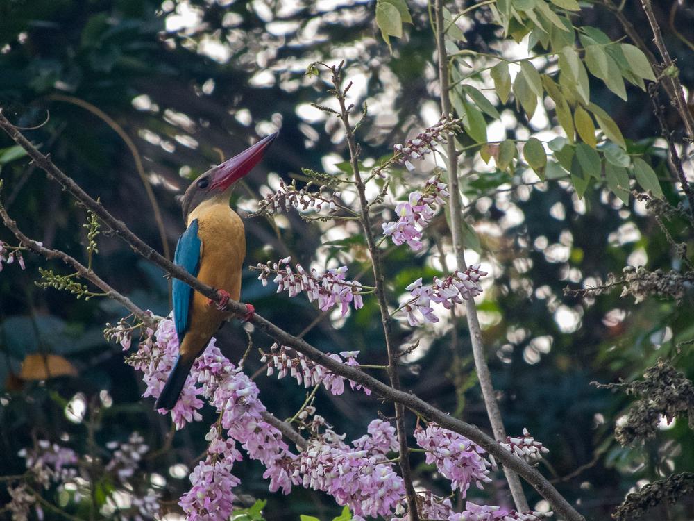 stork-billed-kingfisher-kerala-india