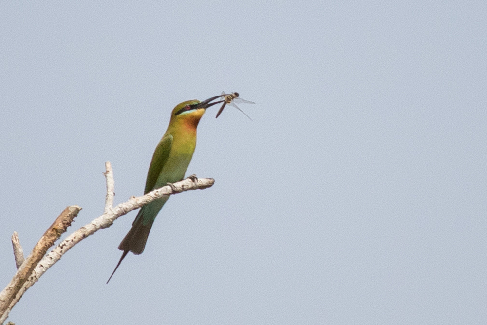 blue-tailed-bee-eater-merops-philippinus-kerala-india