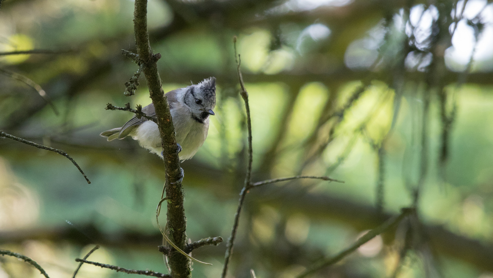 european-crested-tit-geneva-switzerland