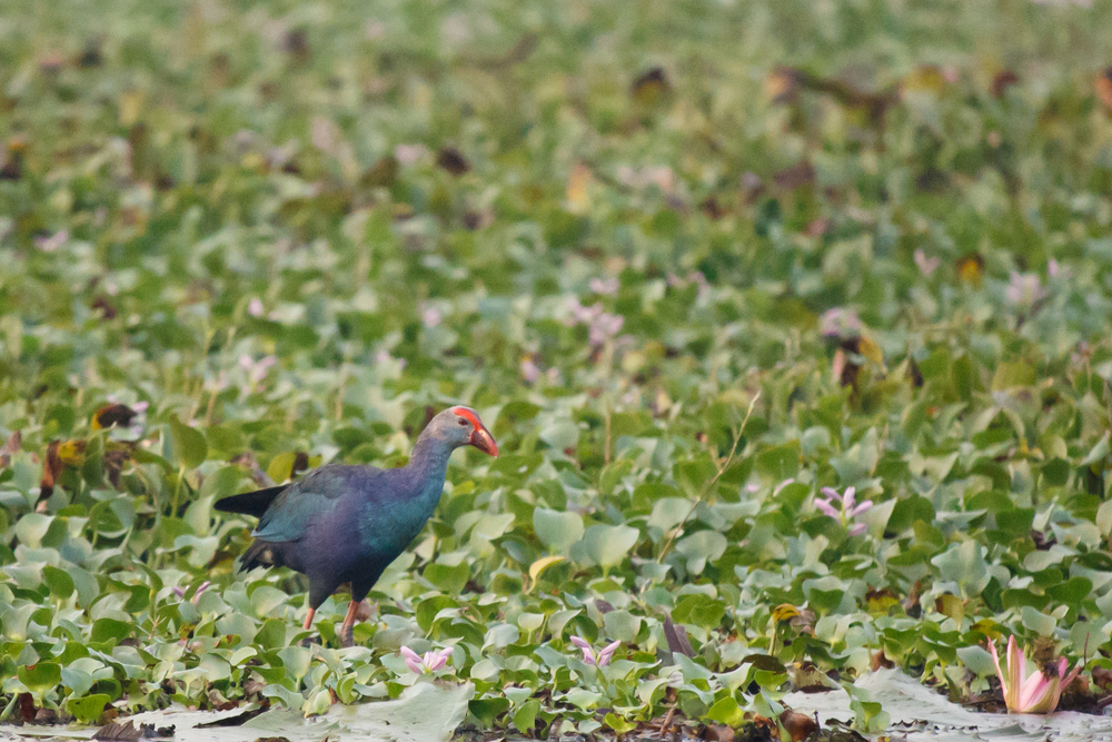 Purple Swamphen (Porphyrio porphyrio) near Kumarakom, Kerala, India. February 2015. Not baited. Not called in.