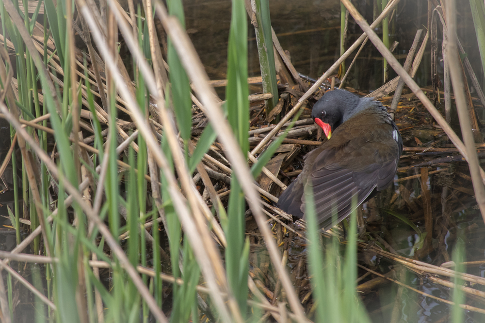 Common Moorhen (Gallinula chloropus) at Marais de Sionnet, Switzerland. April 2015. Not baited. Not called in.