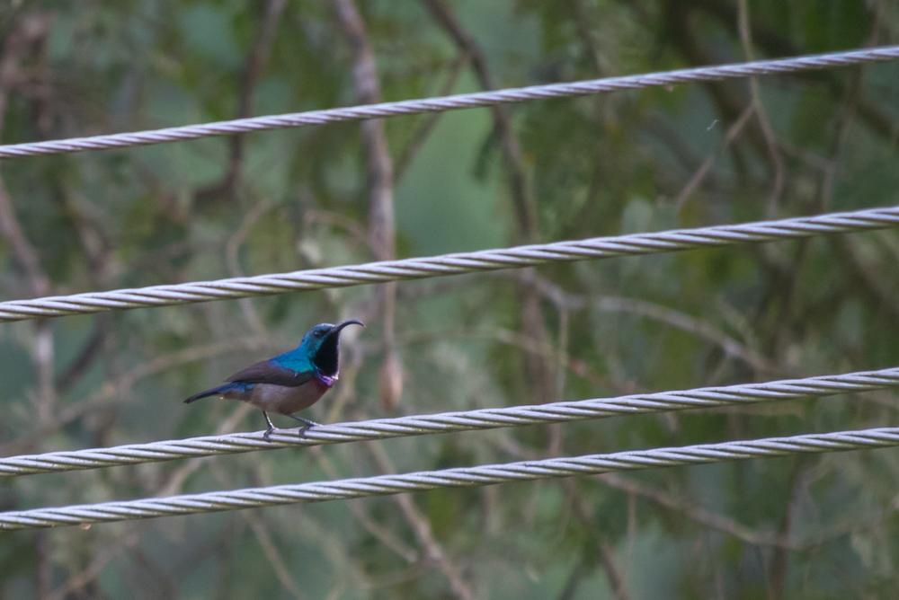 loten-s-sunbird-kerala-india