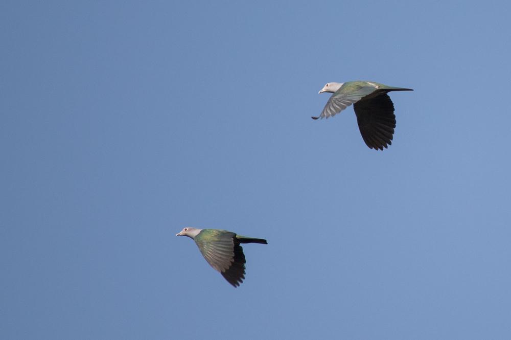 green-imperial-pigeon-thattekad-bird-sanctuary-kerala-india