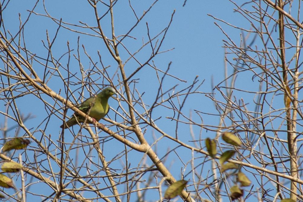 pompadour-green-pigeon-thattekad-bird-sanctuary-kerala-india