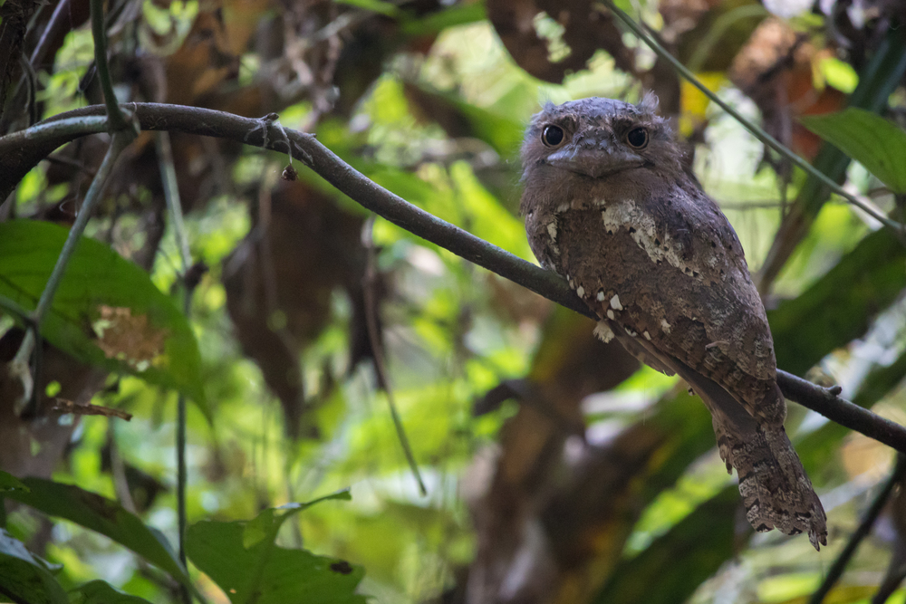 sri-lanka-frogmouth-thattekad-bird-sanctuary-kerala-india