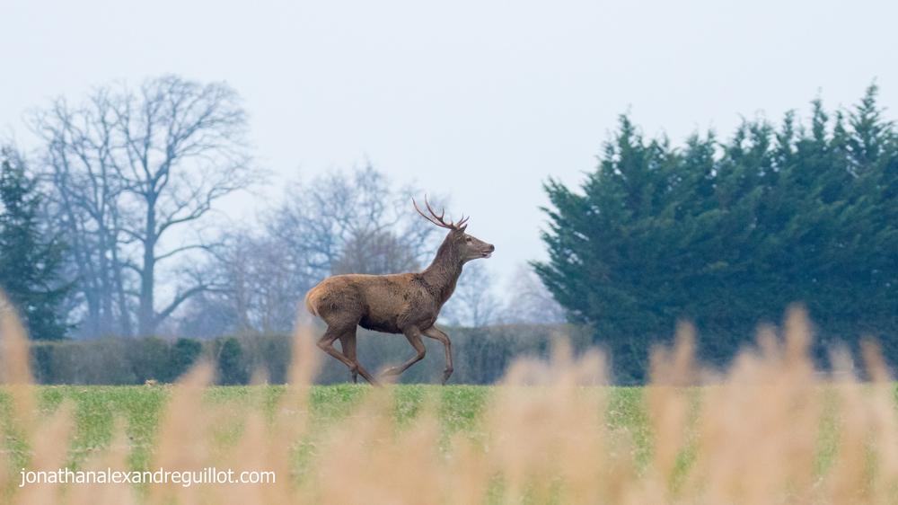 red-deer-marais-de-sionnet-meinier-switzerland