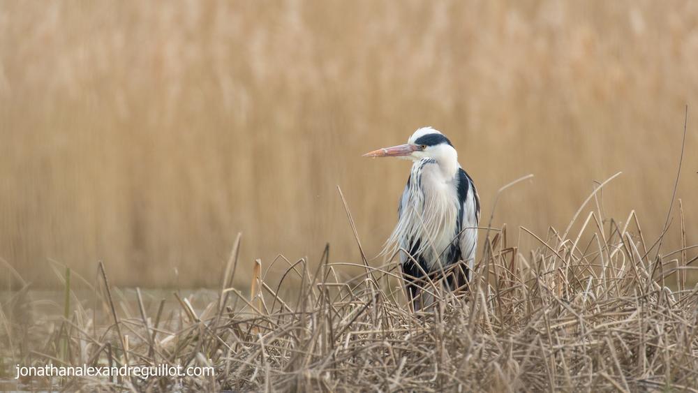 grey-heron-marais-de-sionnet-meinier-switzerland