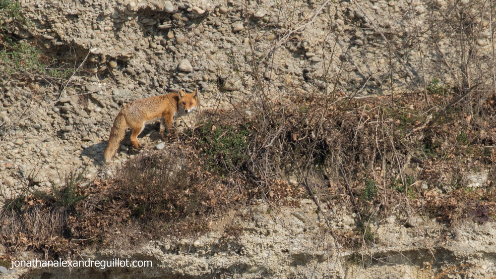 red-fox-teppes-de-vertbois-switzerland