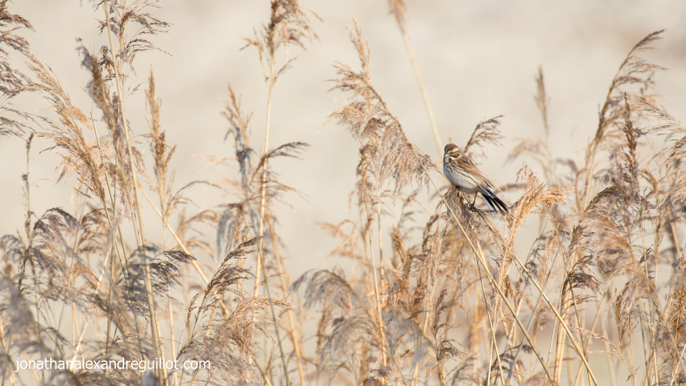 reed-bunting-teppes-de-vertbois-switzerland