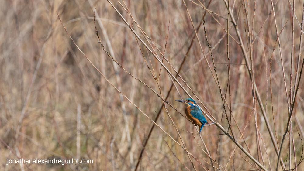 common-kingfisher-teppes-de-vertbois-switzerland