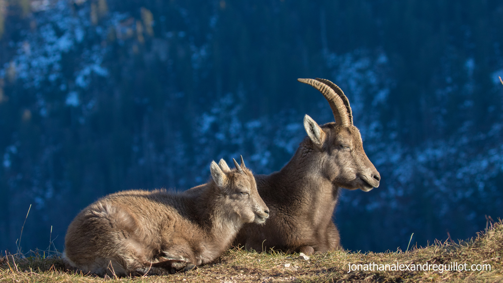 alpine-ibex-female-and-young-creux-du-van-switzerland