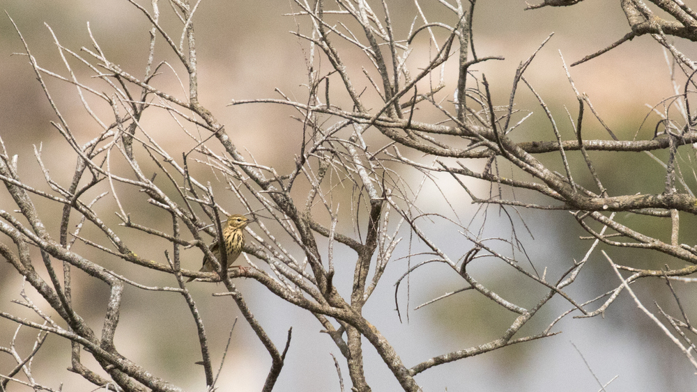tree-pipit-is-simar-nature-reserve-malta