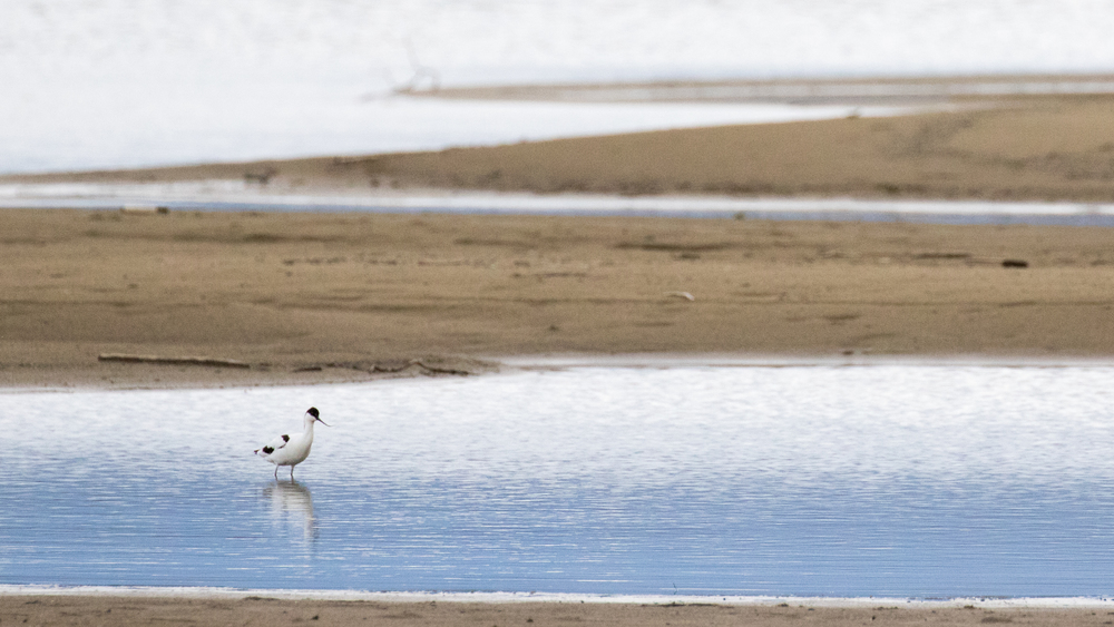 pied-avocet-lake-geneva-sciez-france