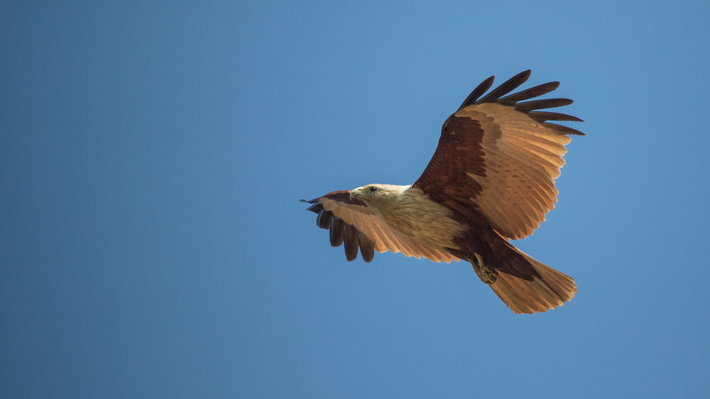 Adult Brahminy Kite (Haliastur indus) in flight over Varkala, Kerala, India. February 2015. Not baited. Not called in.