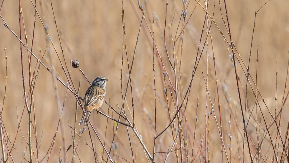 Rock Bunting (Emberiza cia) in Russin, Switzerland. March 2016. Not baited. Not called in.